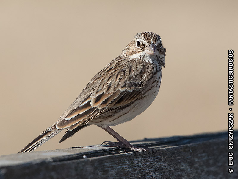 This is a photo of a Sparrow - Vesper