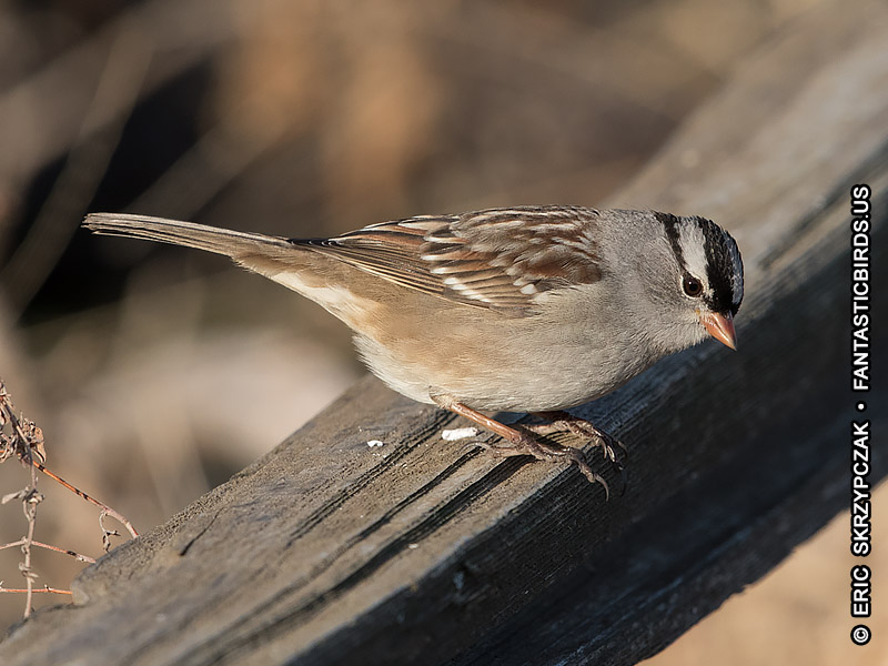 This is a photo of a Sparrow - White-crowned