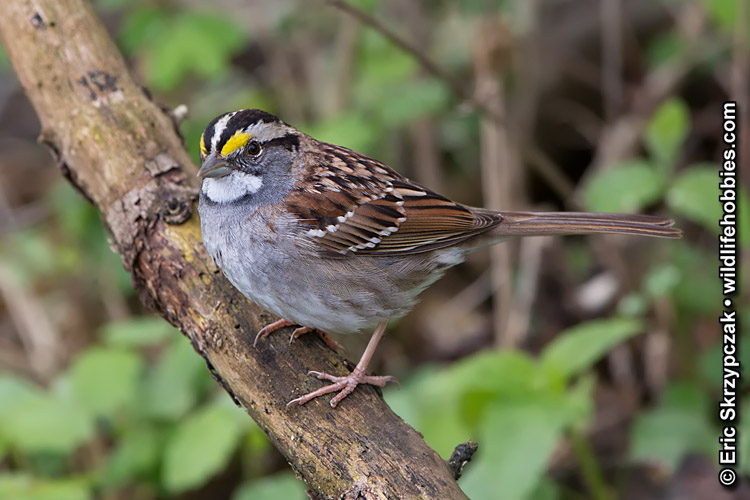 This is a photo of a White-throated Sparrow