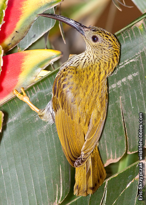 This is a photo of a Spiderhunter - Streaked