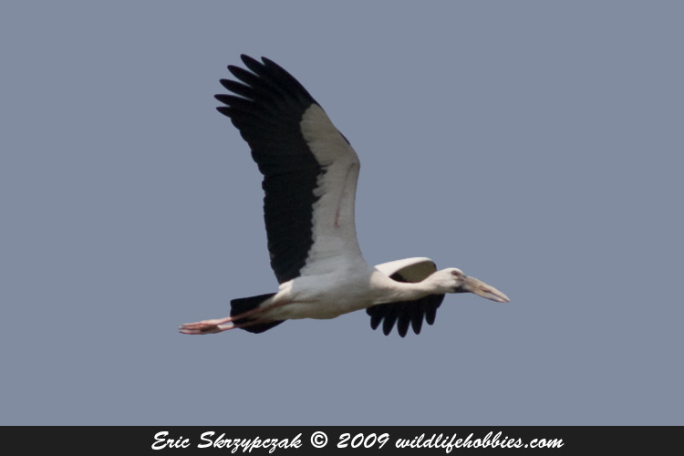 This is a photo of a Stork - Asian-Openbilled
