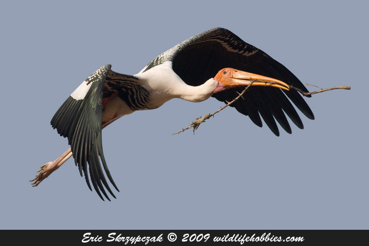 This is a photo of a Stork - Painted