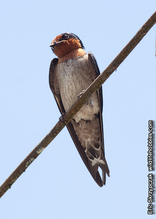 This is a photo of a Swallow - Pacific