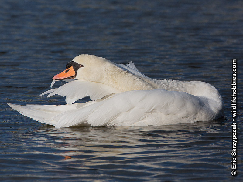 This is a photo of a Swan - Mute