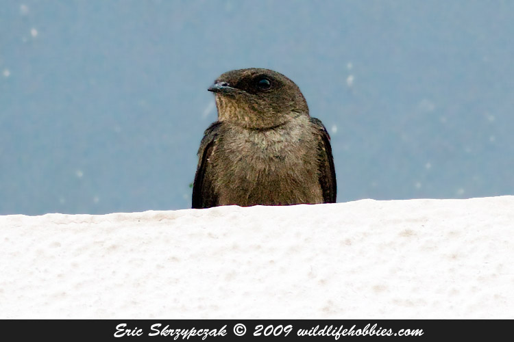 Photograph of the Bird Species: Apus affinis <em>