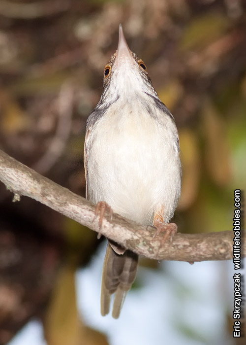 This is a photo of a Tailorbird - Dark-necked