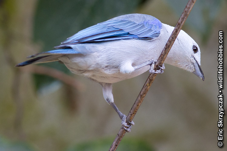 This is a photo of a Tanager - Blue-grey