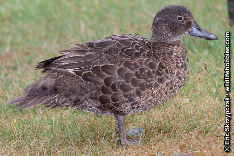 This is a photo of a Duck - Pateke