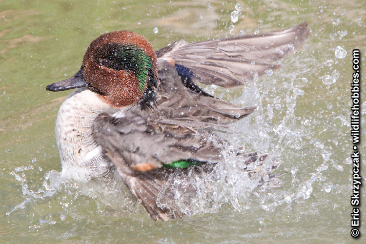 This is a photo of a Green-winged Teal