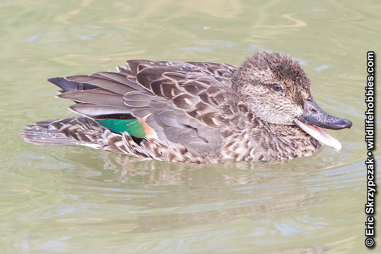 This is a photo of a Duck - Teal - Green-winged, Anas carolinensis