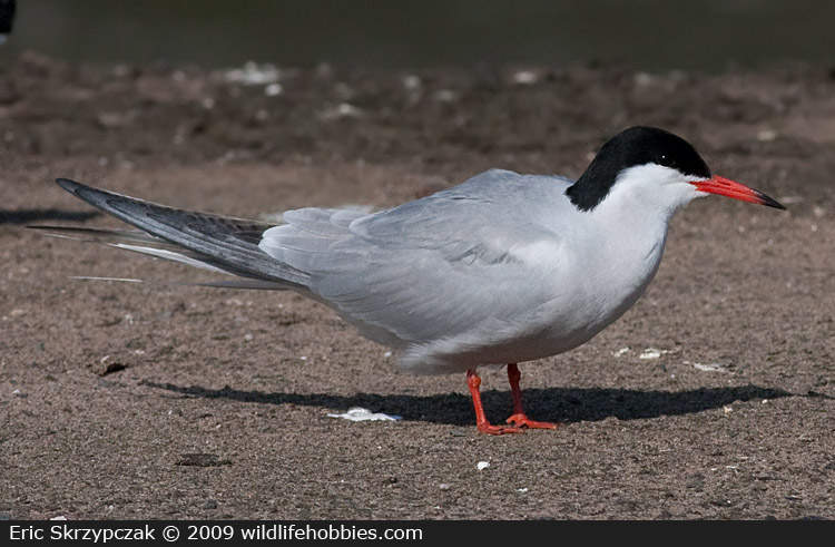 This is a photo of a Tern - Common