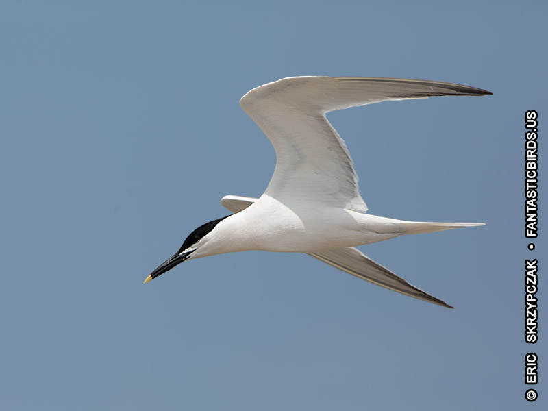 This is a photo of a Tern - Sandwich