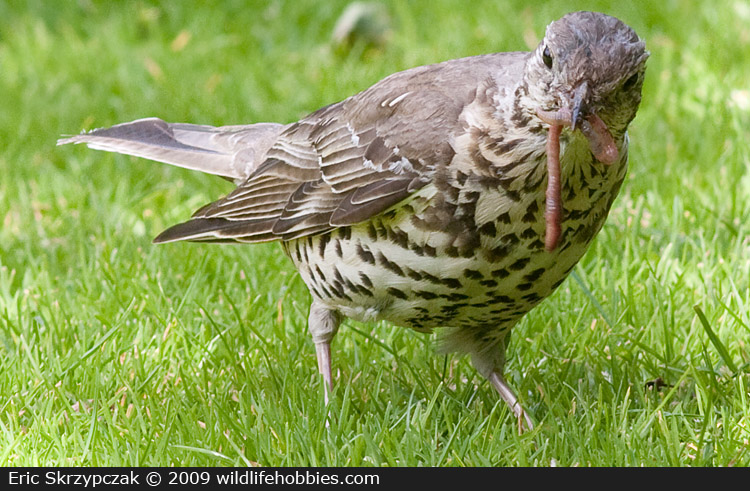 This is a photo of a Thrush - Mistle