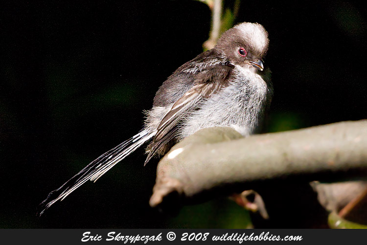 This is a photo of a , Tit - Long-tailed