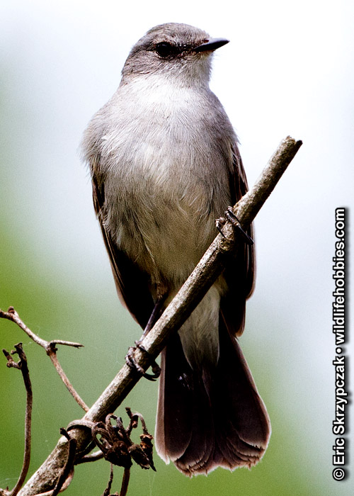 This is a photo of a Tyrannulet - Sooty