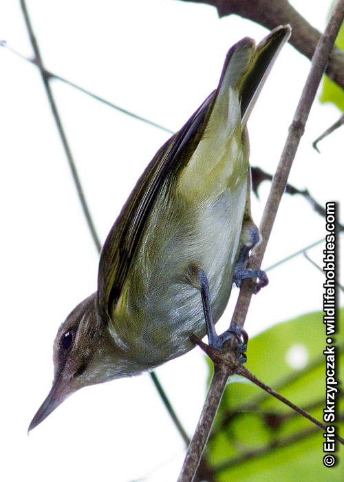 This is a photo of a Vireo - Black-whiskered