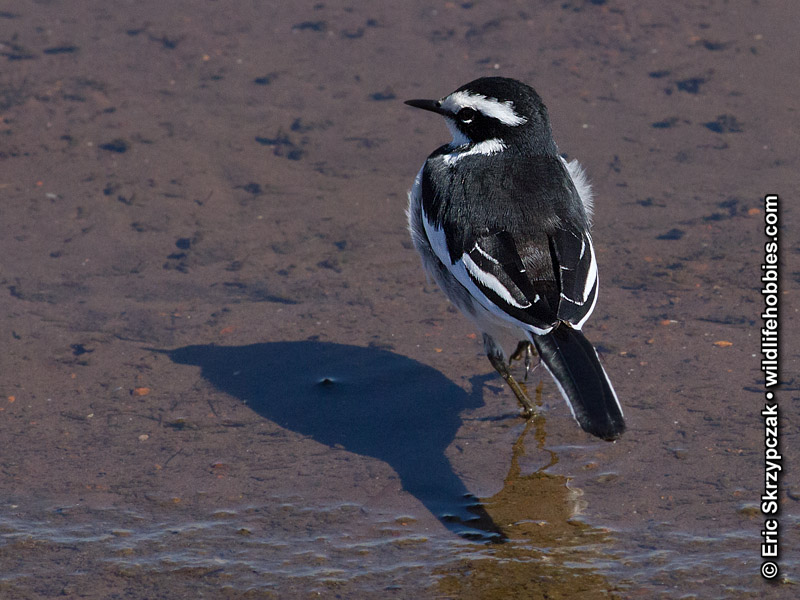 This is a photo of a , Wagtail - African-pied