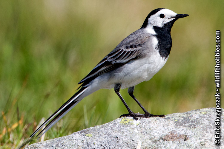 Photograph of the Bird Species: Motacilla alba <em>