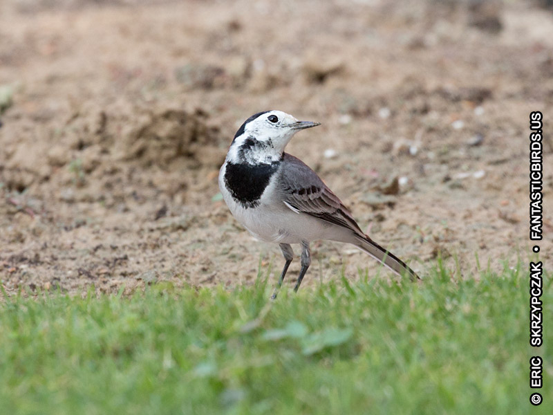 This is a photo of a Wagtail - White