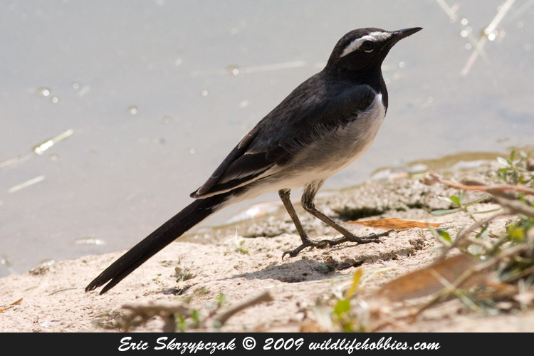 This is a photo of a Wagtail - White-browed