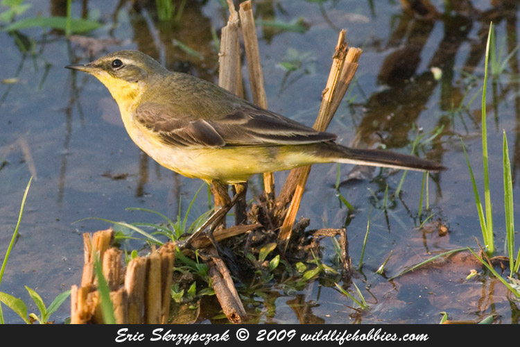 This is a photo of a Wagtail - Yellow