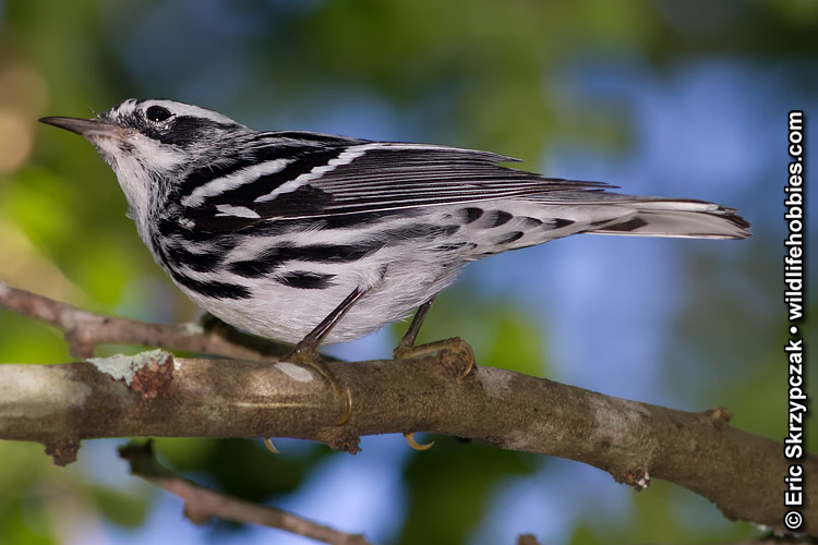 This is a photo of a Warbler - Black-and-white