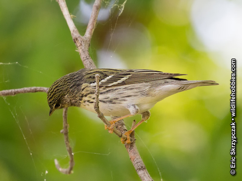 This is a photo of a , Warbler - Blackpoll