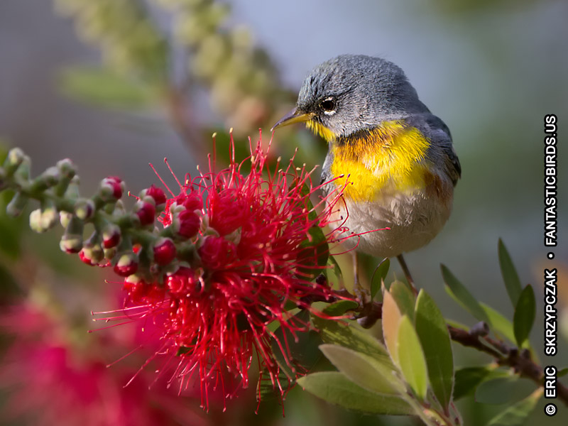 This is a photo of a Warbler - Northern Parula