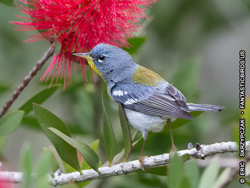 This is a photo of a , Warbler - Northern Parula