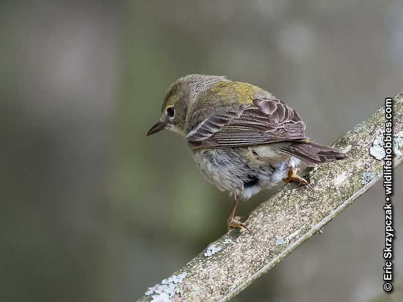 This is a photo of a , Warbler - Pine