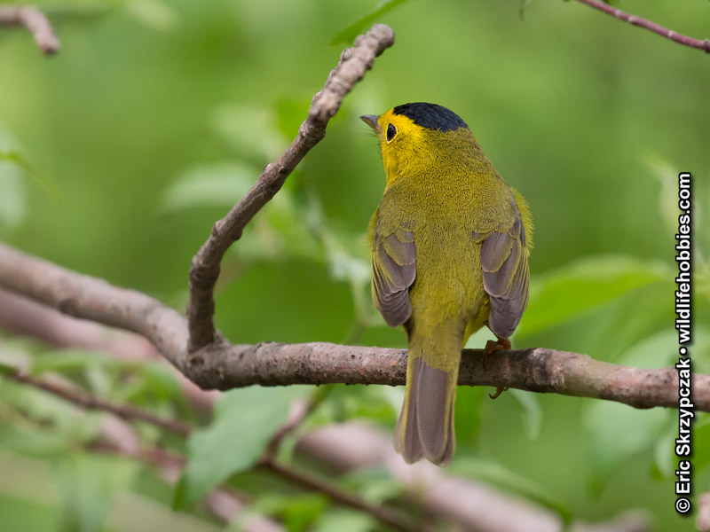 This is a photo of a , Warbler - Wilson's