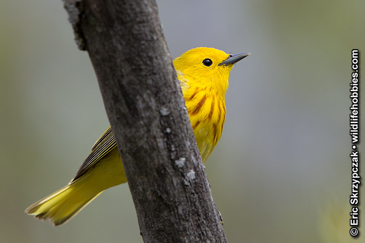 This is a photo of a Warbler - Yellow, Dendroica petechia
