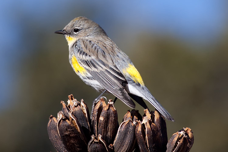 This is a photo of a , Warbler - Yellow-rumped (Audubon's)