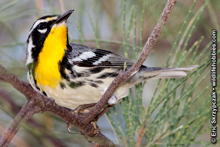 This is a photo of a , Warbler - Yellow-throated