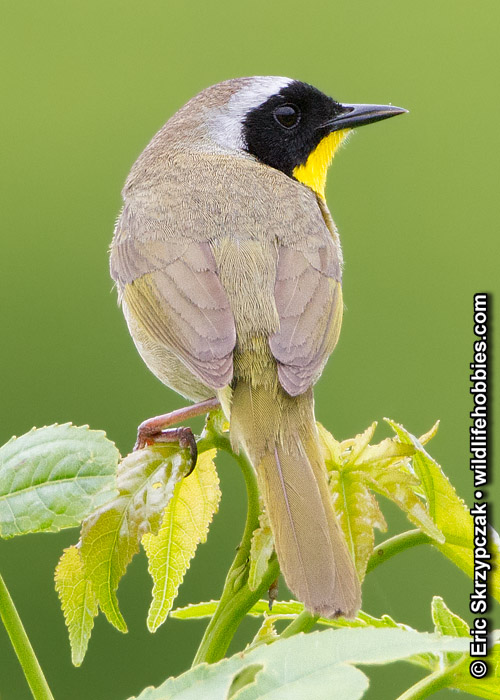 This is a photo of a Common Yellow-throat Warbler