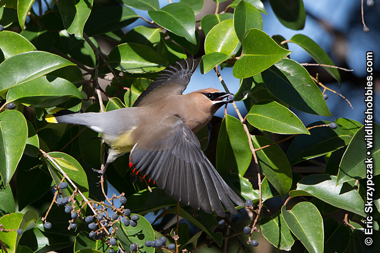 This is a photo of a Waxwing - Cedar
