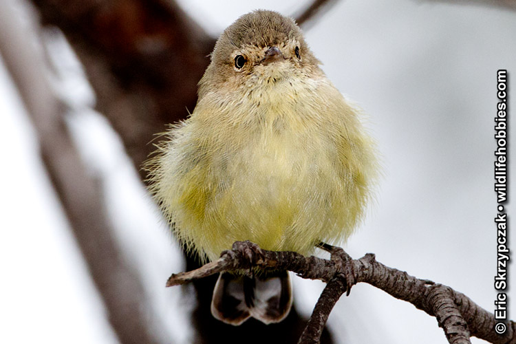 This is a photo of a , Weebill
