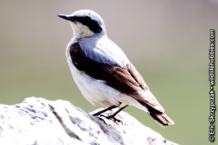 Photograph of the Bird Species: Oenanthe oenanthe <em>