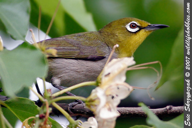 This is a photo of a White-eye - Japanese