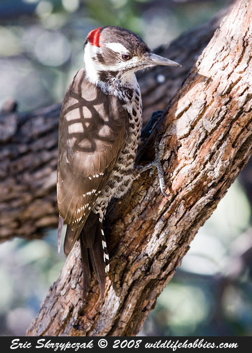 This is a photo of a , Woodpecker - Arizona