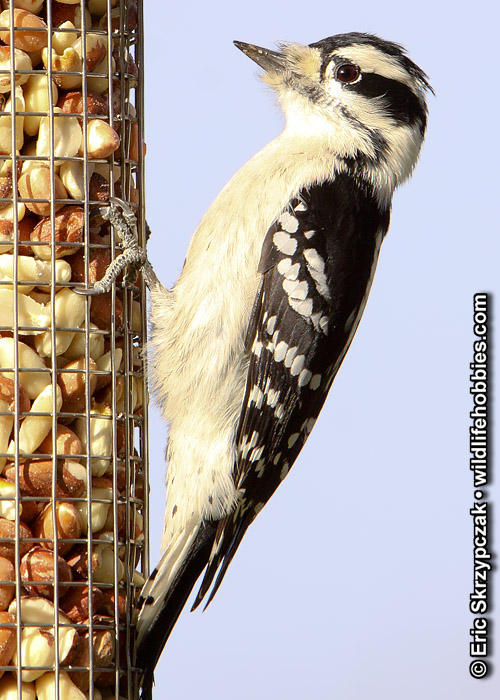 This is a photo of a , Woodpecker - Downy