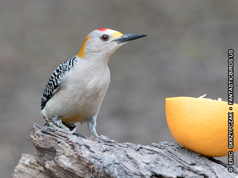 Photograph of the Bird Species: Woodpecker - Golden-fronted <em>Melanerpes aurifrons