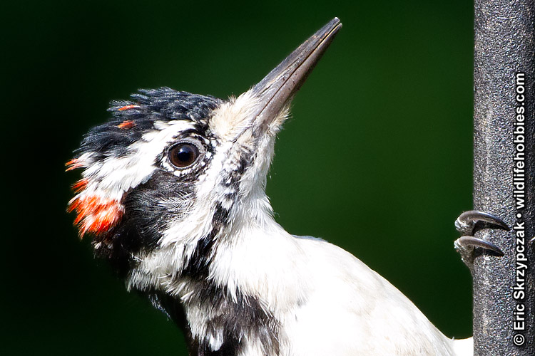 This is a photo of a Hairy Woodpecker