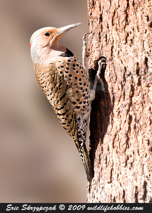 This is a photo of a , Woodpecker - Northern Flicker