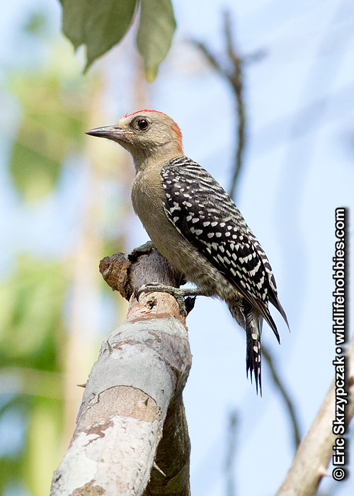 This is a photo of a Woodpecker - Red-crowned, Melanerpes rubricapillus
