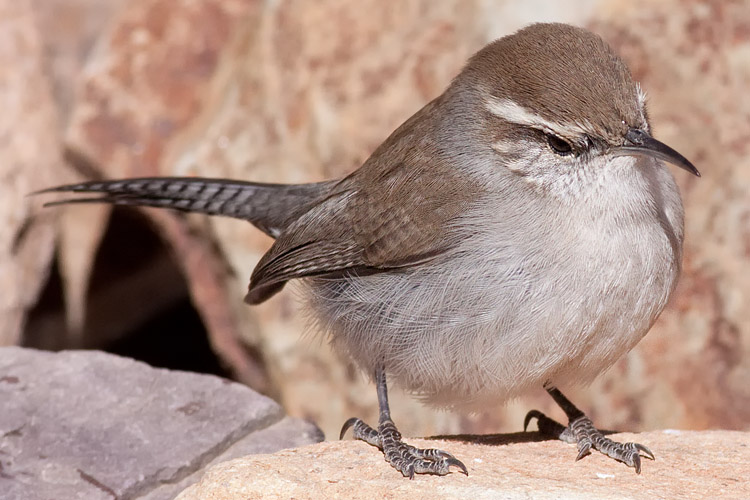 This is a photo of a Wren - Bewick's, Thryomanes bewickii