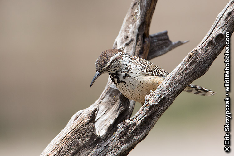 This is a photo of a Wren - Catcus, Campylorhynchus brunneicapillus