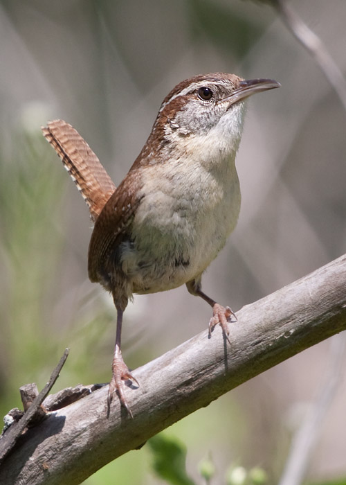 This is a photo of a Wren - Carolina, Thryothorus ludovicianus