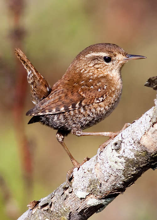 This is a photo of a Wren - Winter, Troglodytes troglodytes