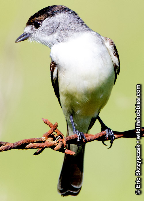 This is a photo of a , Xenopsaris - White-naped